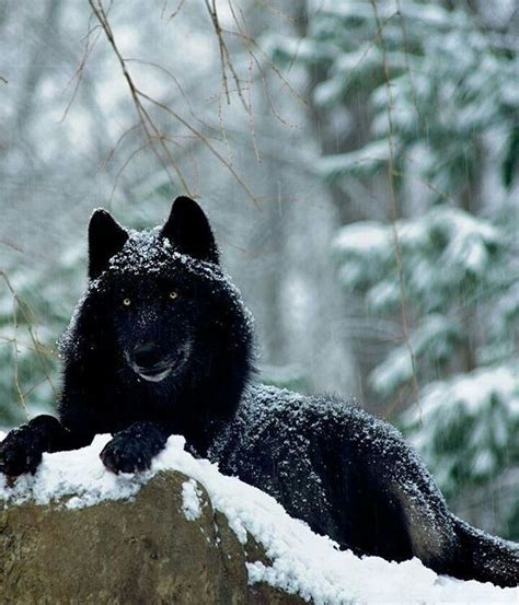 Black Wolf Photography