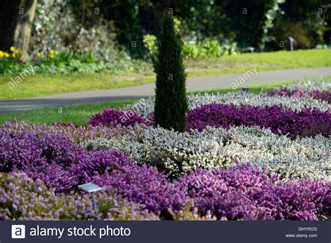 planting winter flowers erica carnea heather white flower garden plant winter spring low stock photo 62691344 alamy