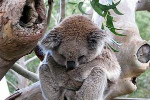 21 Snoozing Koalas You Want To Snuggle With Right Now