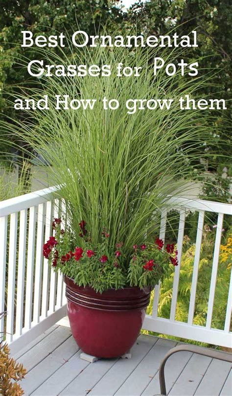 annual grasses for containers best ornamental grasses for containers grasses and ornamental grasses