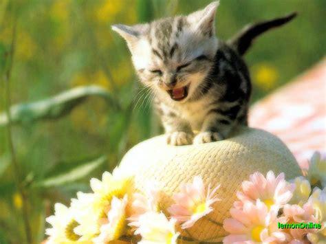 สายพันธุ์แมว แมวบ้าน  The Pet Is Cat