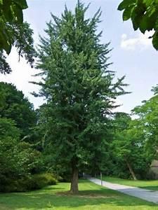 Ginkgo Samen Kaufen : ginkgo biloba 39 tremonia 39 s ulenf rmiger ginkgobaum ~ Lizthompson.info Haus und Dekorationen