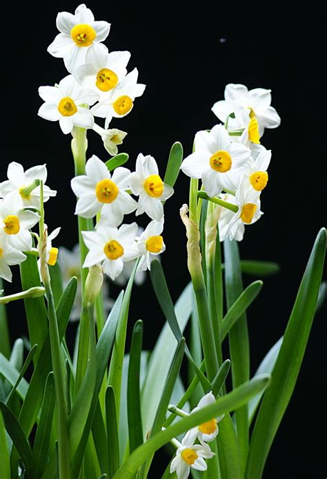 17 best images about paperwhite narcissus narcissus