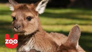 Cute Baby Kangaroo in Chapultepec Zoo. - YouTube