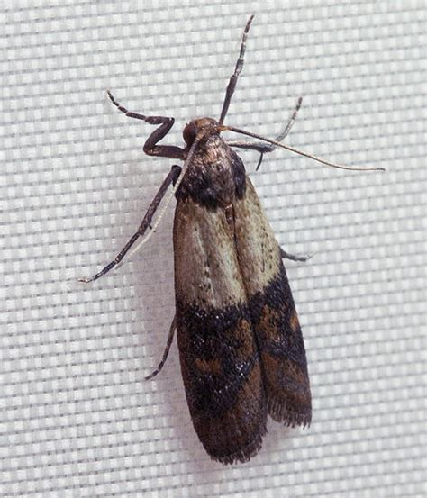 how to get rid of kitchen moths the eleventh plague