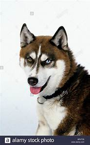 DIESEL THE DOG SNOW DOGS; (2002 Stock Photo, Royalty Free ...