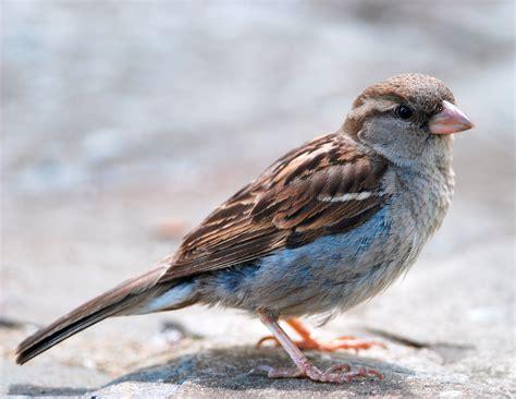bird sounds  songs   house sparrow   farmers almanac