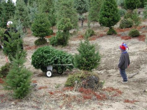 green needles christmas tree farm 1175 yew tree lane