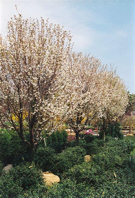 snow goose flowering cherry prunus snow goose