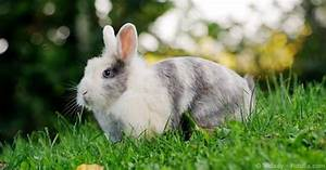 Scientific Classification Of Pet Rabbits