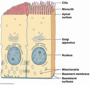 Apical Surface Of Epithelial Cells
