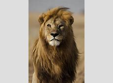 Long hair don't care Myself as a lion, lion couple, lion