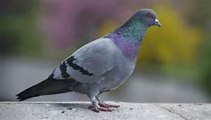 Faire Fuir Les Pigeons : des rapaces dans le ciel parisien pour faire fuir les ~ Melissatoandfro.com Idées de Décoration