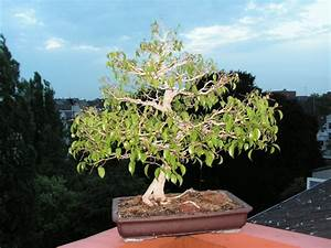 Bonsai Baum Schneiden : ficus bonsai schneiden ficus ginseng als bonsai pflege schneiden gie en bonsai ficus benjamini ~ Frokenaadalensverden.com Haus und Dekorationen