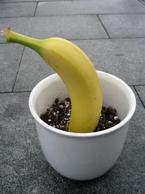 mini bananen pflanze banane z 252 chten wie sehen die samen aus samen
