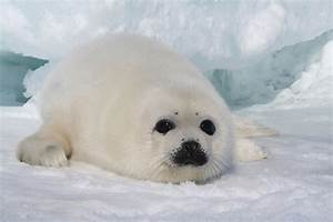 Environmentalism – Chapter 35 Seal Pup Massacre – Canada ...