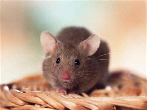 Wie Viel Kostet Eine Maus Als Haustier by Wissen 252 Ber Haustiere Meine M 228 Use Und Meine Ratten