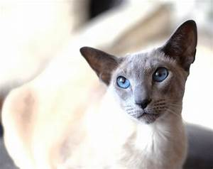 The gallery for --> Lilac Point Siamese Applehead