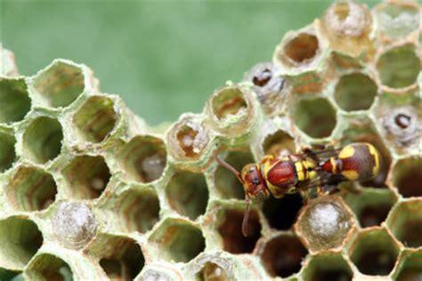 wespen im winter wespen im winter was geschieht mit diesen tieren in der kalten jahreszeit