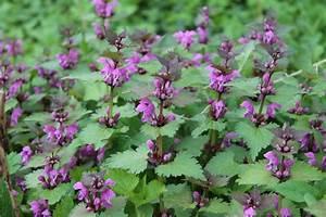 Pflanze Lila Blätter : essbare bl ten geheimnisse der rohkost ~ Eleganceandgraceweddings.com Haus und Dekorationen