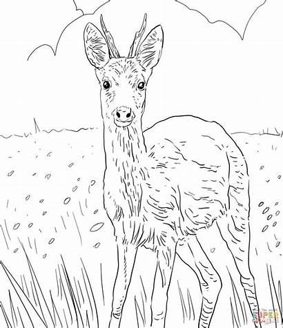 Deer Sarna Coloring Ausmalbilder Roe Kolorowanka Disegni