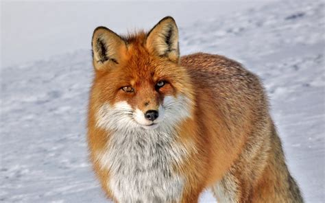 Fox Animal Wallpaper - fox hd wallpaper and background image 2560x1600