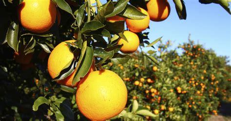 irmas big blow  floridas crops cbs news
