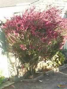 Arbuste Fleuri En Pot : photo arbuste fleuri leptospermum scoparium ~ Premium-room.com Idées de Décoration
