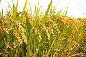 Government Yet To Fix Support Price For Paddy