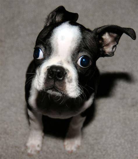 boston terrier puppie pictures tinydognet