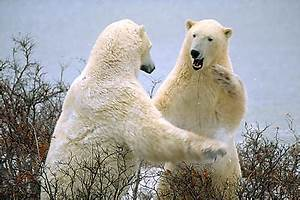 Two polar bears standing up and play fighting, near ...