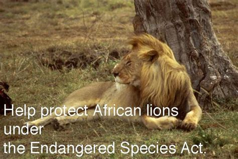 Take action Help save African lions African lion