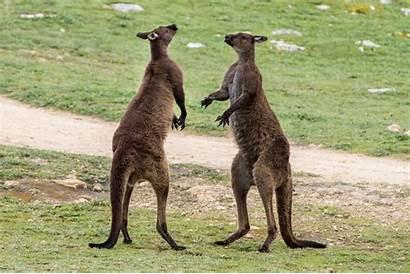 Kangaroo Pet Things Petponder Fighting Male Consider