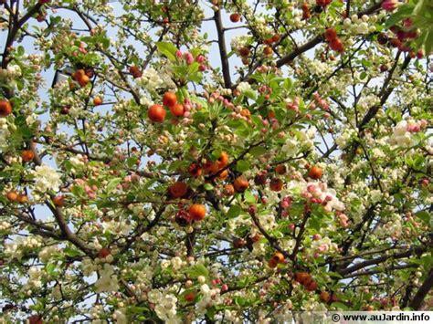 cuisiner le fruit de l arbre à pommier à fleurs pommier d 39 ornement planter cultiver multiplier