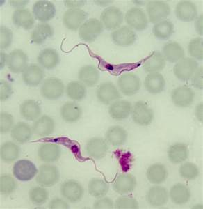 Avirulent Parasites Point The Way