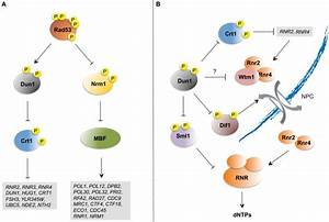 Checkpoint Control Of S Phase Transcription And Dntp Pools