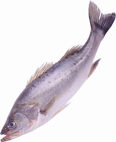 Fish Transparent Background Clipart Clip Freepngimg Pngguru