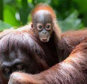 Gallery: Bornean Orang Utan cute alert 2013 | Metro UK