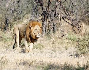 Male lion attacked by females after being away from pride ...