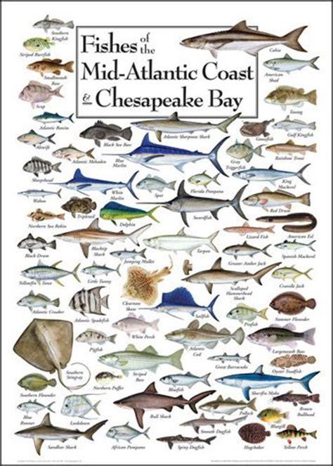 fishes   mid atlantic coast chesapeake bay pause