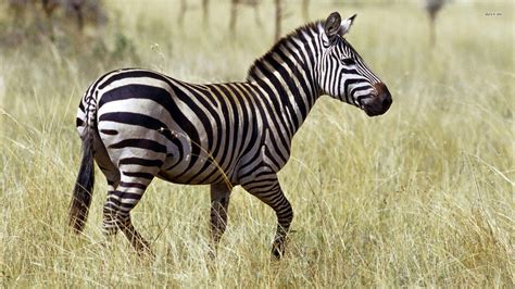 Zebra Animal Wallpaper - zebra wallpapers hd