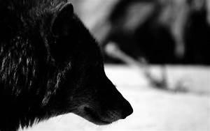 black wolf wallpaper - HD Desktop Wallpapers | 4k HD