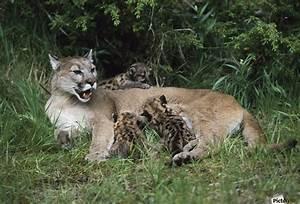 Mountain Lion Nursing Cubs - PacificStock Canvas