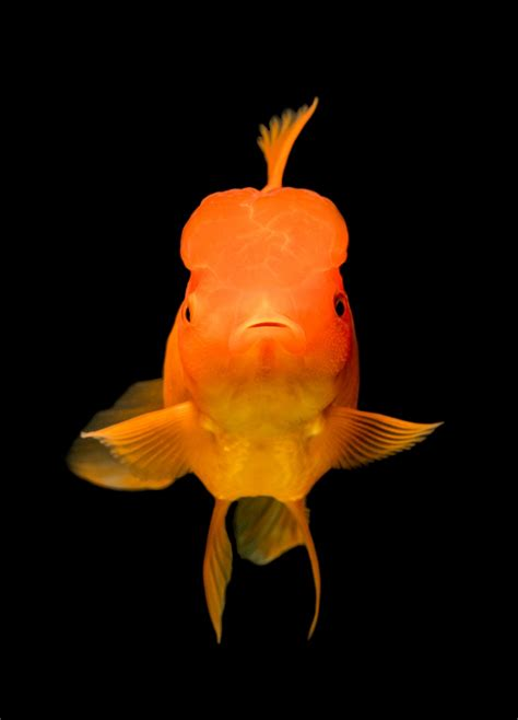 gold fish photo  fish image  unsplash