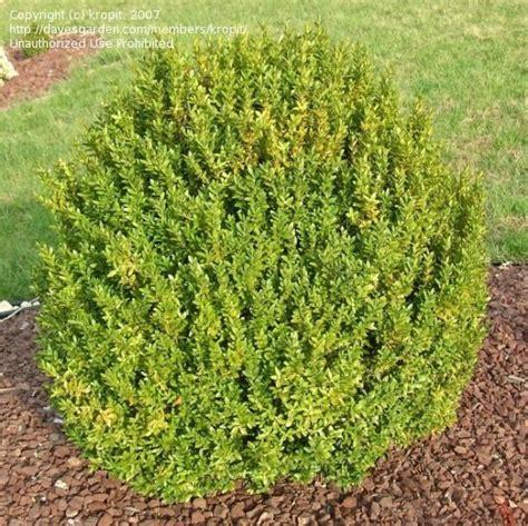 PlantFiles Pictures: Buxus Species Common Boxwood