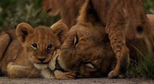 Lioness and Cubs HD Desktop Wallpaper
