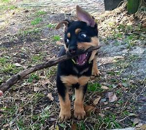 Rottweiler Mixes German shepherd German Shepherds ...