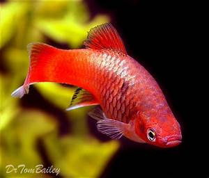 Information about Platys How to keep and breed Platy
