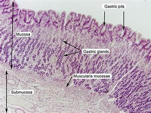 Stomach Histology Labeled
