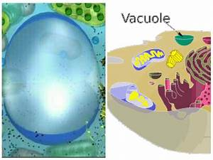Biology Facts  Vacuole  31 Points